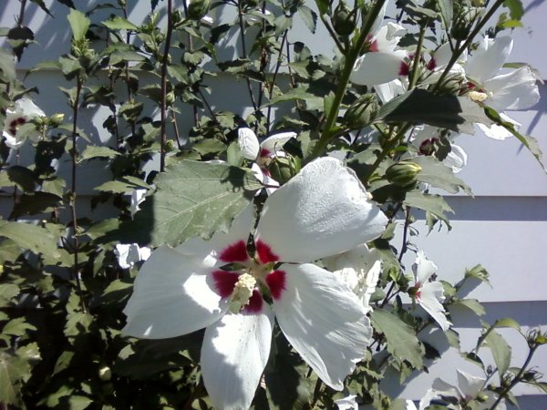 White flower with a purple throat, maybe a Rose of Sharon.