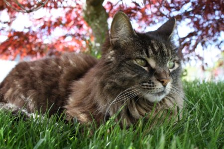 Desire the Cat Sitting Under Vine Maple Tree