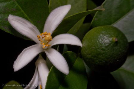 Meyer lemon with fruit and flower