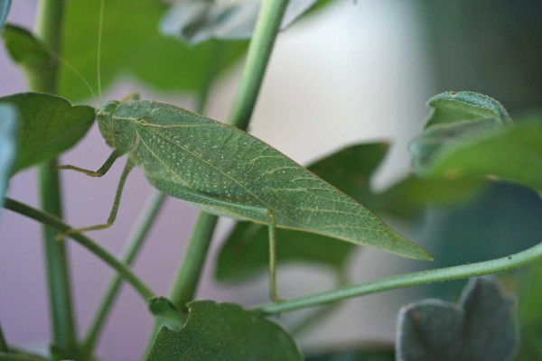 Katydid in the Geraniums
