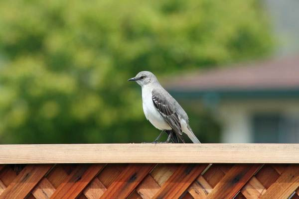 Mockingbird Visits our Garden