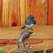 Black Phoebe in the Garden