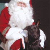 Apollo the American Lattle with Santa Clause