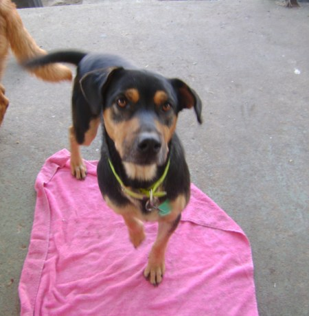 Black and brown dog on pink towel.