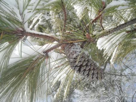 White Christmas Snow Covered Pine Cone