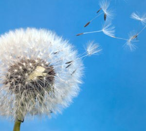A dandelion blowing seeds in the air.