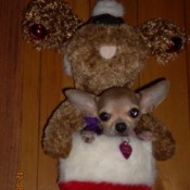 Bunny the Chihuahua in Christmas Stocking