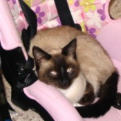 Siamese cat sitting in a child car seat.