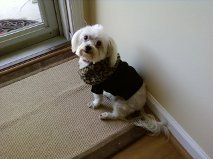Maltese wearing a sweater.