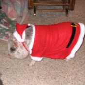 A small dog dressed in a Santa suit.