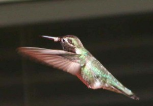 Anna's Hummingbird Closeup Zoom