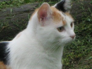 Calico cat with lots of white.