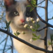 White cat with gray ears and cheeks behind flowering tree.