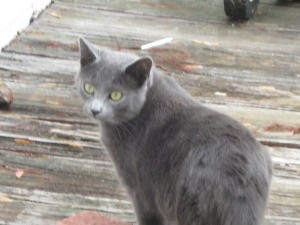 Charcoal gray cat.