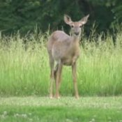 Tips For A Deer Free Garden, Deer in Yard