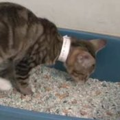 Cat Behavior - Litter Box Problems, Cat in Litter Box