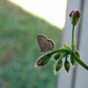 Blue Marine butterfly landed on a geranium bud