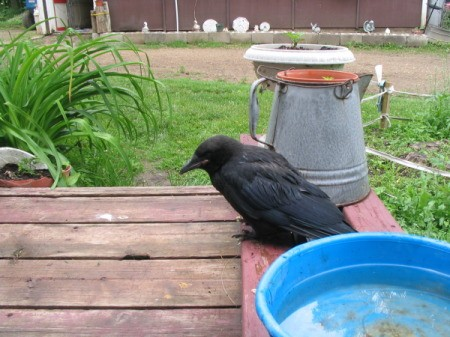 Black crow sitting on deck.