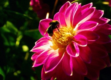 Bee on a beautiful pink blossom.