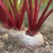 Beets growing in the garden