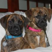 Two brindle coated puppies with dark muzzles.