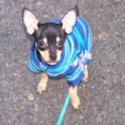 Chihuahua in blue fleece shirt.