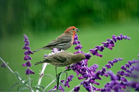 House Finches landed on purple sage flowers