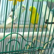 Two parakeets in a cage.