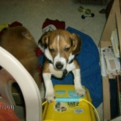 Beagle puppy standing up against a cat litter box.