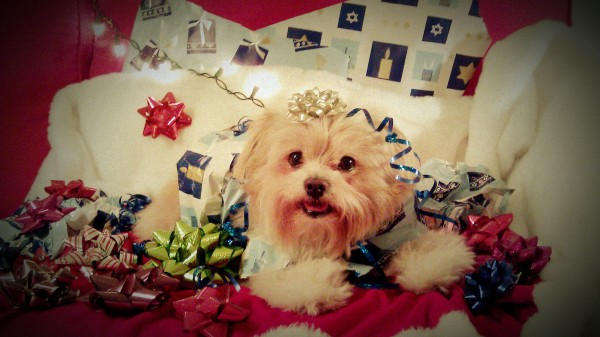 Nino the Yorkie-Poolying on wrapping paper and surrounded by gift bows.