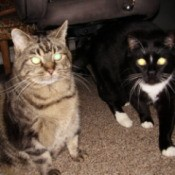 Tabby and black and white cats looking at camera.
