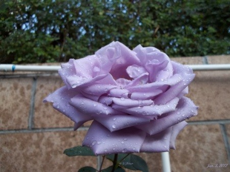 A light purple rose that is entirely open.