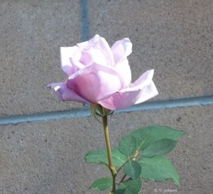 A lavender rose bloom just opening up.