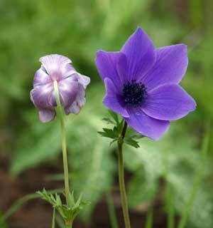 Anemone (Greek Wind Flower, Poppy Anemone)