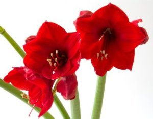 red amaryllis on white background