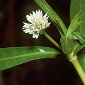 Alternanthera Flower