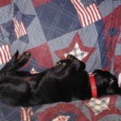 Dog lying on an Americana themed quilt.