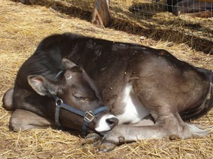 Baby Cow Sleeping