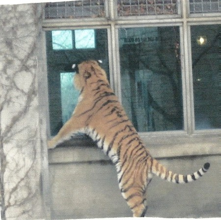 Scenery: Tiger (Buffalo Zoo) standing up and looking in a window.