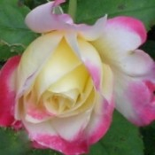 Pink Tipped Rose (Pennsylvania), a opening yellow rosebud with bright pink on the tips.