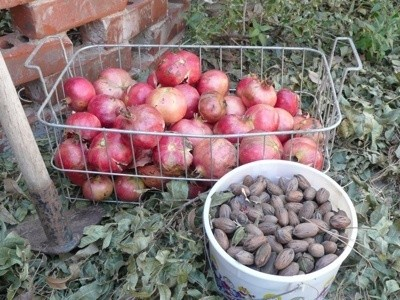 Harvested pomegranates and pecans
