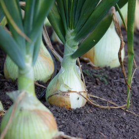 Onions growing in the ground.