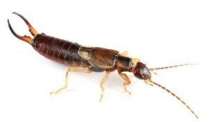 Photo of an earwig.