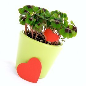 Potted four leaf clover with red hearts.