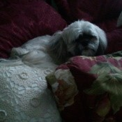 Taylor (ShihTzu), a small white dog on a couch.