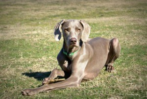 Roxie (Weimaraner) sitting on grass.