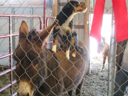 Murphy (dog) sitting on the back of Miss, a donkey in a barn behind chickenwire