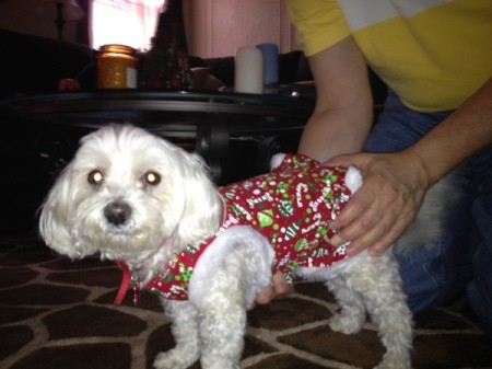 Lulu ( white Maltese dog) wearing a red dog coat.