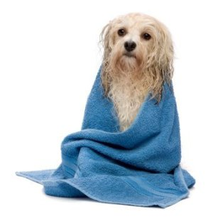 Wet dog wrapped in a blue towel.