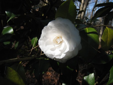 A white camellia planted to celebrate a 25th wedding anniversary.